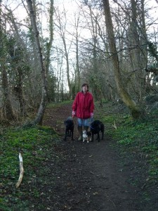 Mrs Cath Williamson with labradors Freddy and Kate and Jack Russell Millie walking The Plantation (AGW 2011)