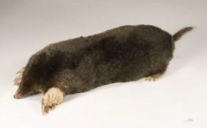 Full length mole