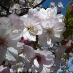 Flowery cherry